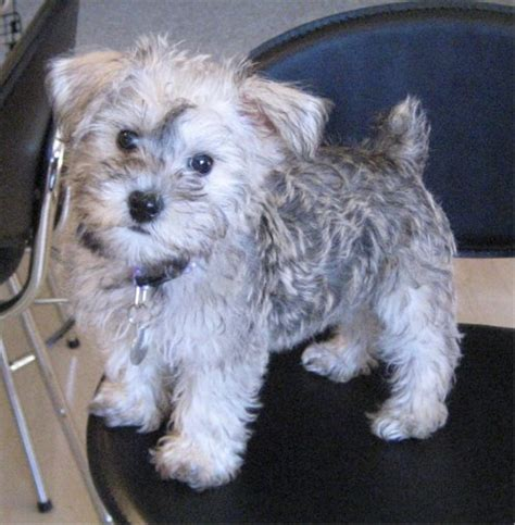 Schnoodle Breed