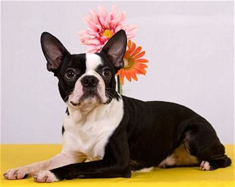 Boston Terriers: Advice You Can Trust