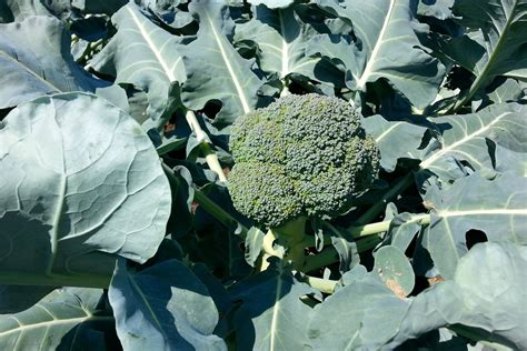 Forget kale, broccoli leaves are the new superfood you