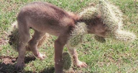 Howling Cactus Turns Out To Be A Baby Coyote In Desperate