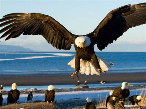 Eagle With Spread Wings Landing Hd Wallpapers For Laptop